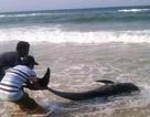 Cá voi nhỏ chết bất thường trôi dạt vào bờ biển Huế
