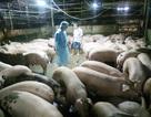 Một tháng bắt gần 40 vụ sử dụng chất cấm trong chăn nuôi