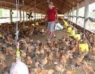 Gà Mỹ rẻ như rau: Người nuôi gà Việt lỗ hơn 1.300 tỷ đồng