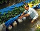 Lãi hàng chục triệu đồng nhờ nuôi lươn đồng trong can nhựa