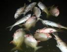 Hà Nội: Cá chết nổi trên hồ Linh Đàm