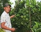 Thu lãi 1 tỷ mỗi năm từ trồng cam sành