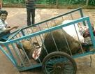 Bắt 2 đối tượng trộm bò, xẻ thịt dã man