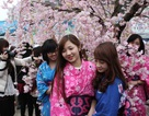 Hà Nội trồng 200 cây hoa anh đào tại Công viên Hòa Bình
