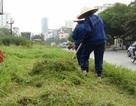 Hà Nội: Công nhân chật vật cắt cỏ dại trên phố