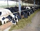 Vinamilk thu mua sữa tươi nguyên liệu của nông dân tăng mạnh về sản lượng và giá trị