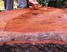 """Khu bảo tồn thiên nhiên """"chảy máu"""": Đề án chặt 100 cây lim xanh?"""
