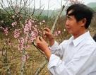 Lão nông tự tay chặt bỏ gần chục hecta xoài để trồng đào