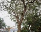 Cây đào đại thụ núi Ngàn Nưa được rao giá 70 triệu đồng