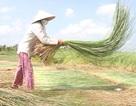 Kiếm bạc triệu nhờ trồng cây hoang dại