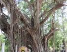 Công nhận 2 cây đa cổ thụ là cây Di sản Việt Nam