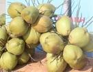 Dừa khô rớt giá thảm