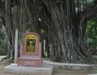 Ngắm 2 cây đa di sản 200 năm tuổi