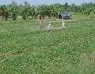 Thương lái Trung Quốc lại thu mua lá khoai lang