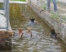Xem chó Phú Quốc leo rào, lội nước, chạy đua
