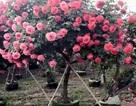 Bỏ 55 triệu mua cây hồng trăm bông đẹp lòng vợ trẻ