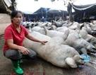 53 con lợn chết la liệt do sét đánh