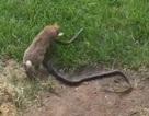 Thỏ mẹ dũng cảm tấn công rắn để cứu thỏ con