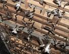 Cấm nuôi chim yến trong nội thành để phòng cúm