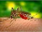 Muỗi hổ châu Á là loại muỗi gì?