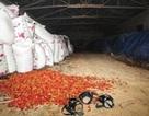 Lưu huỳnh trong ớt khô vượt ngưỡng 50 lần
