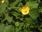 Cây cối xay: Hiệu quả cho người bị suy giảm thính lực