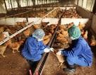 Tiếp xúc gà nhiễm cúm H5N1, một cán bộ thú y nhập viện
