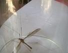 Phát hiện muỗi to như chuồn chuồn kim ở Quảng Bình