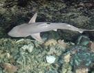 Cá mập vây đen sinh 3 con: Cá mập con thứ 2 đã chết
