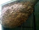 """Tổ ong bò vẽ """"khổng lồ"""" trong nhà dân"""