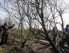 Vườn đào Nhật Tân thấm đẫm mồ hôi trong ngày giá rét