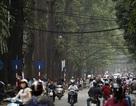 Hàng cây sao đen tuyệt đẹp trên đường phố Hà Nội