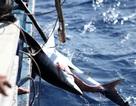 Xem ngư dân miền Trung săn cá mập