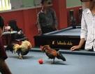 Đá gà trên bàn bida