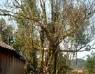 Cây trầm hương khổng lồ: Báu vật của dãy Trường Sơn