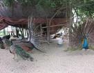 Mục sở thị công nghệ nhân giống chim trời