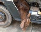 Bò tót cực hiếm chết vì dính bẫy