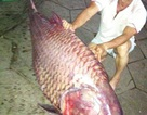Bắt được cá hô nặng 130kg