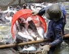 """Chuyện con cá tra: Doanh nghiệp """"chết"""", nông dân cũng """"băng hà"""""""