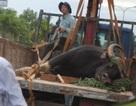Vụ bò tót chết sau cứu hộ: Liều thuốc mê là giọt nước tràn ly