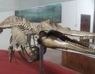 """Chuyện về """"ngài"""" cá nhà táng khổng lồ trên đảo Phú Quý"""