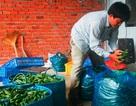 Thương lái Trung Quốc mua gom đậu bắp xanh với giá cao bất thường