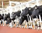 Thị trường sữa Việt và câu chuyện từ con bò