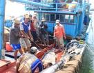 Cá ngừ đại dương trượt giá, ngư dân gặp khó