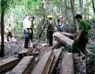 Bắt thêm hai đối tượng phá rừng đặc dụng Bà Nà – Núi Chúa
