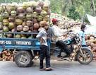 Thương lái Trung Quốc tận thu dừa non