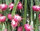 Lo ngại Trung Quốc trồng thanh long