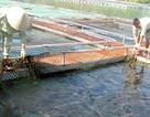 Kinh doanh lao đao vì cá tầm lậu