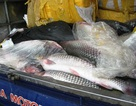 700 kg cá trắm lậu gắn chữ Trung Quốc trên bao bì