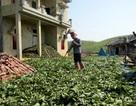 Vặt lá, chặt rễ cây bán cho thương lái Trung Quốc